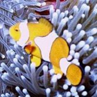 Image of: Amphiprion percula (blackfinned clownfish)