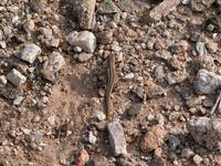 Image of: Sceloporus virgatus (striped plateau lizard)