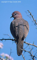 Laughing Dove - Streptopelia senegalensis