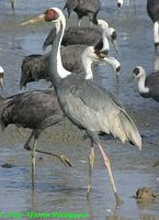 White-naped Crane - Grus vipio