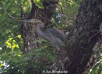 Great-billed Heron - Ardea sumatrana