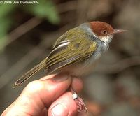 Philippine Tailorbird - Orthotomus castaneiceps