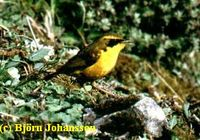 Golden Bush Robin - Tarsiger chrysaeus