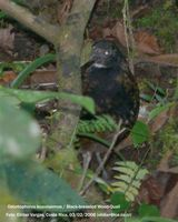 Black-breasted Wood-Quail - Odontophorus leucolaemus
