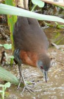 White-throated Crake - Laterallus albigularis