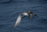 Cory's Shearwater (Calonectris diomedea) photo
