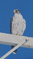 Gyrfalcon (Falco rusticolus) photo