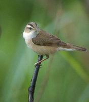 Black-browed Reed-Warbler (Acrocephalus bistrigiceps) photo