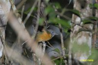 Gray-hooded Flycatcher - Mionectes rufiventris