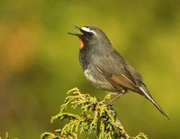 White-tailed Rubythroat - Luscinia pectoralis