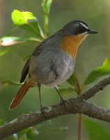 Cape Robin-Chat - Cossypha caffra