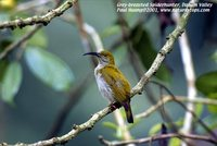 Gray-breasted Spiderhunter - Arachnothera modesta