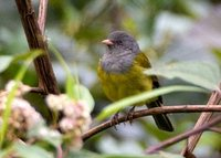 Gray-hooded Bush-Tanager - Cnemoscopus rubrirostris