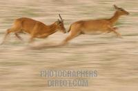 puku ram chasing a female stock photo