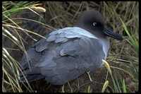 : Phoebetria palpebrata; Light-mantled Albatross