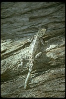 : Agama sp.; Lizard