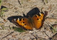 : Nymphalis californica; California Tortoiseshell Butterfly