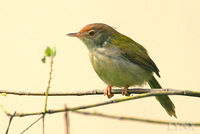 Common Tailorbird 長尾縫葉鶯