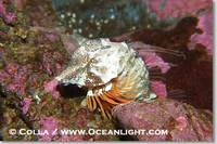 ...Image 13727, Grunt sculpin.  Grunt sculpin have evolved into its strange shape to fit within a g
