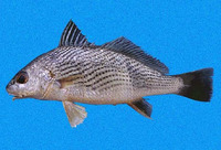 Umbrina analis, Longspine drum: fisheries
