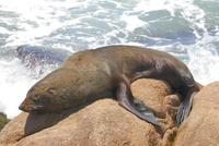 Image of: Arctocephalus australis (South American fur seal)
