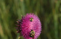 Image of: Halictidae (halictid bees and sweat bees), Bombus