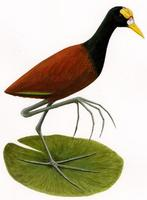 Image of: Jacana spinosa (northern jacana)