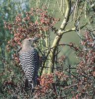 Gila Woodpecker (Melanerpes uropygialis) photo