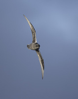 Kerguelen Petrel (Lugensa brevirostris) photo
