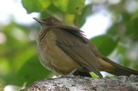 Clay-colored Robin - Turdus grayi