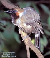 Gray Laughingthrush - Garrulax maesi