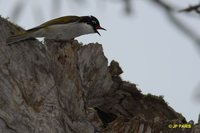 White-naped Honeyeater - Melithreptus lunatus