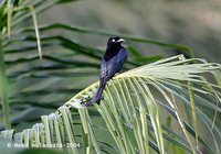 Hair-crested Drongo - Dicrurus hottentottus