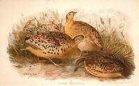 BURMESE YELLOW LEGGED BUTTON QUAIL ( TURNIX MACULOSUS )