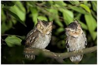 Mountain Scops Owls