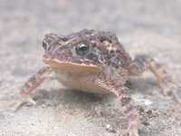 : Bufo coccifer; Southern Roundgland Toad