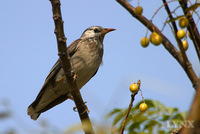 White-cheeked Starling 灰椋鳥