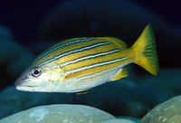 Lutjanus viridis, Blue and gold snapper: fisheries