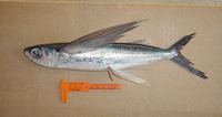 Cypselurus comatus, Clearwing flyingfish: fisheries