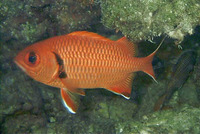 Myripristis berndti, Blotcheye soldierfish: fisheries, aquarium