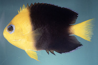 Centropyge joculator, Yellowhead angelfish: aquarium