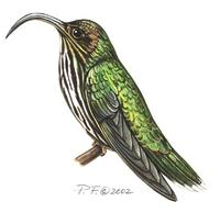 Image of: eutoxeres aquila (white-tipped sicklebill)