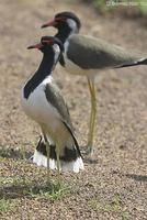 Image of: Vanellus indicus (red-wattled lapwing)