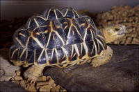 Image of: Geochelone elegans (Indian star tortoise)