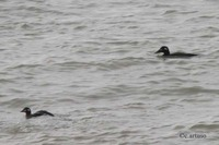 White-winged Scoter - Melanitta deglandi