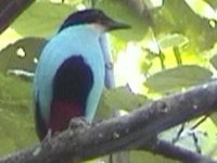 Azure-breasted Pitta - Pitta steerii