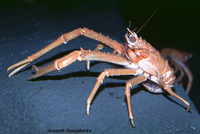 : Munida hispida; Deep Water Squat Lobster