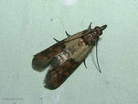 Plodia interpunctella - Indian Meal Moth