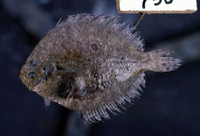 Pseudorhombus triocellatus, Three spotted flounder: fisheries, aquarium