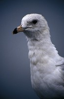Larus delawarensis - Ring-billed Gull